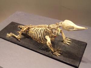 モグラの骨格