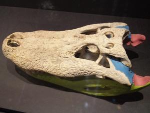 ワニの頭蓋骨