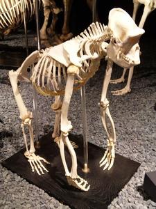 ゴリラの骨格