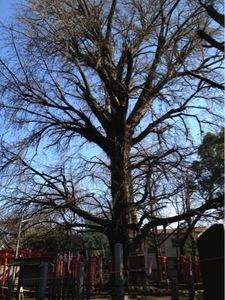 鬼子母神 銀杏の大木