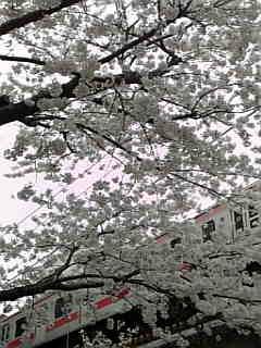 自由が丘 緑道 桜 4月1日